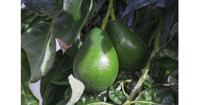 Avocado Tree in Marathi